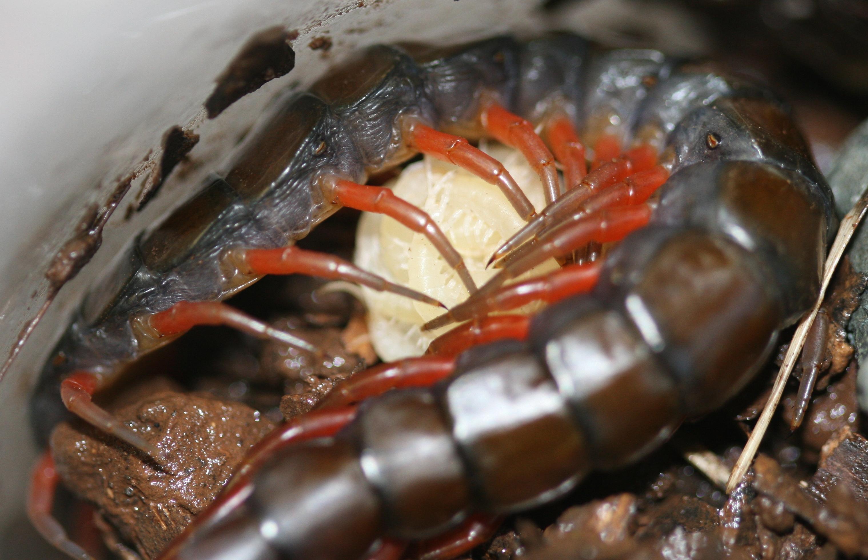 the weight of scolopendra gigantea centipede