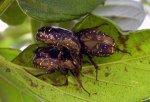 Protaetia orientalis 01