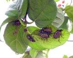 Protaetia orientalis 03