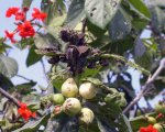 Protaetia orientalis 05