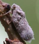 Melormenis basalis, Homoptera: Flatidae