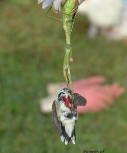 praying-mantis-catches-hummingbird-2