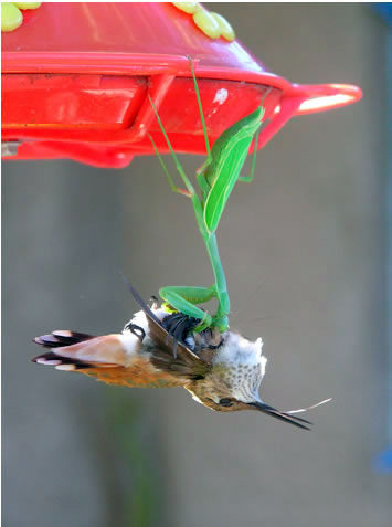 praying-mantis-catches-hummingbird-picture