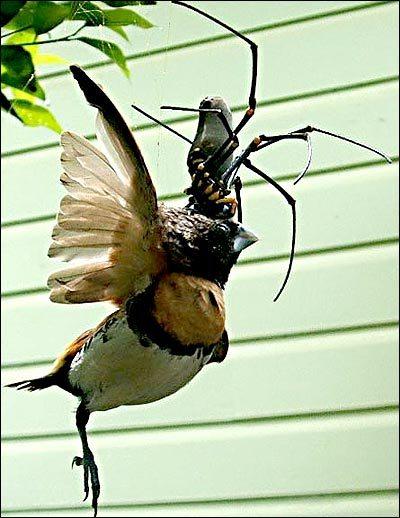 spider-eating-bird-01