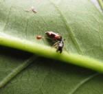 Salticidae (Siler sp.)