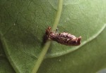 Hyposmocoma sp. with parasitoid
